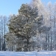 Pine covered with snow - Stock Photo