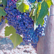 Bunch of grapes ready for harvest — Stock Photo