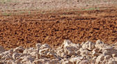 Plowed field sienna red with dried clods — Stock Photo