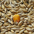 Seeds of wheat and yellow maize seed — Stock Photo