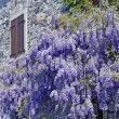 Glycine purple of an ancient house of Friuli - Stock Photo
