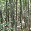 Dense forest of trees in the Tuscan hills in Italydense forest of trees in - Stock Photo