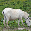 Royalty-Free Stock Photo: White baby donkey and a graze in the mountains