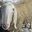 Sheep grazing in the mountains in the snow in search of grass to eat — ストック写真