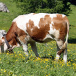 White and brown cow eats the grass of a lawn in the summer in the mountains — Stock Photo #7128872