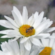 Bee sucking nectar from a white daisy — Stock Photo