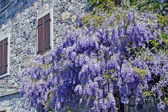 Glycine purple of an ancient house of Friuli — Stock Photo