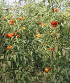 Red cherry tomatoes in a greenhouse in Italy — Stock Photo