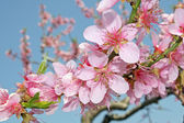 Pink peach flowers bloom in spring in the Italian hills — Stock Photo