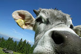 Cow very short black with large nostrils of the nose — Stock Photo
