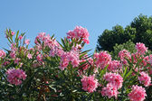 Pink rhododendron blossoms on a sunny day in summer — Stock Photo