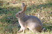 Brown rabbit with long ears on the lawn — Stock Photo