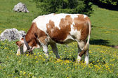 Witte en bruine koe eet het gras van een gazon in de zomer in de bergen — Stockfoto