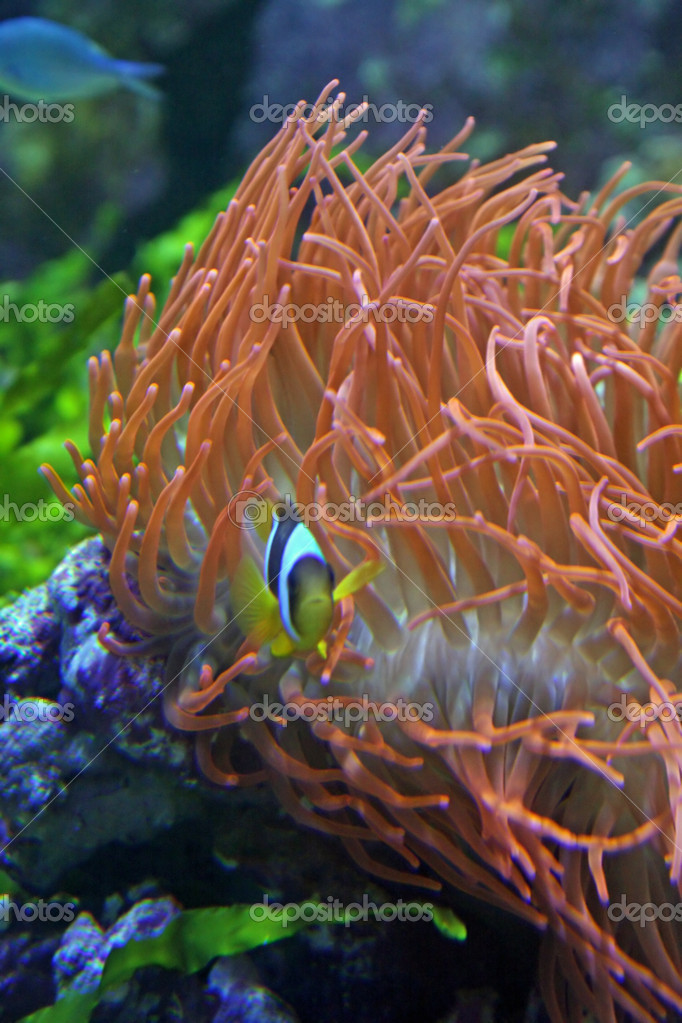 Very Colorful Clown Fish And Marine Red Algae Stock