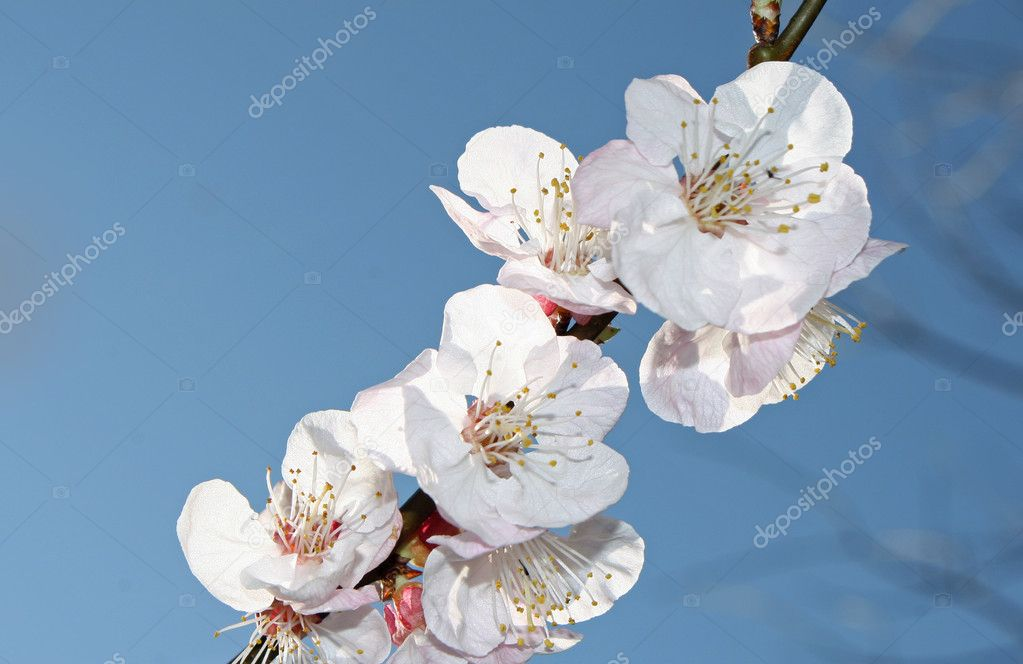 Branch with many of cherry blossoms in spring  — Stock Photo #7128522