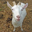 White goat  with two horns in the fold - Stock Photo