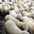Stock Photo: flock of sheep on a pasubio 1