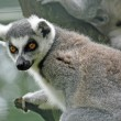 Lemur with a watchful eye for food — Stock Photo