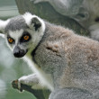 Stock Photo: Lemur with watchful eye for food