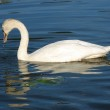 Beautiful swan with wings slightly on the water shall — Stock Photo