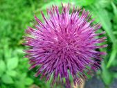 Purple Thistle flower just bloomed in the mountains 2 — Stock Photo