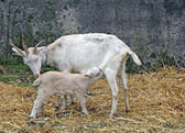 White goat suckling lamb on a farm in Tuscany — Stock Photo