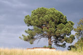 Tree isolated over a hill — Stock Photo