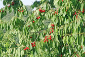 Branch with green leaves and red cherries ready for harvesting in May — Stock Photo