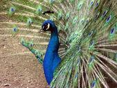 Wheel of the peacock — Stock Photo