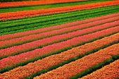 Haarlem & Flowers — Stock Photo