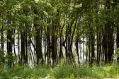 Flood forest — Stock Photo