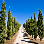 Empty tuscan cypress road — Stock Photo