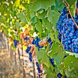 Wine grapes detail - Stock Photo