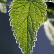 Stinging Nettles — Stock Photo #7110195