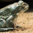 Toad — Stock Photo