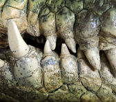 Crocodile tooth — Stock Photo