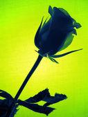 Grüne rose — Stockfoto