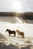 Winter Horses — Stock Photo