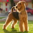 Grown-up airedale terrier set to a point outdoors on a green law - Stock Photo