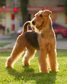 Grown-up airedale terrier set to a point outdoors on a green law — Stock Photo