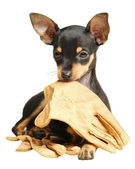 Puppy Russian toy terrier lying with gloves — Stock Photo