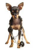 Puppy Russian toy terrier with necklace — Stock Photo