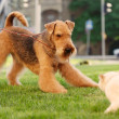 Airedale terrier playing with cat on a green lawn — Stock Photo
