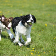Two dogs playing chase - Stok fotoraf