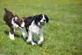 Two dogs playing chase — Stock Photo