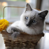 Cat in a basket looks at the camera — Stock Photo