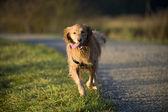 Köpek dışarı asılı dil ile kamera doğru çalışır. — Stok fotoğraf