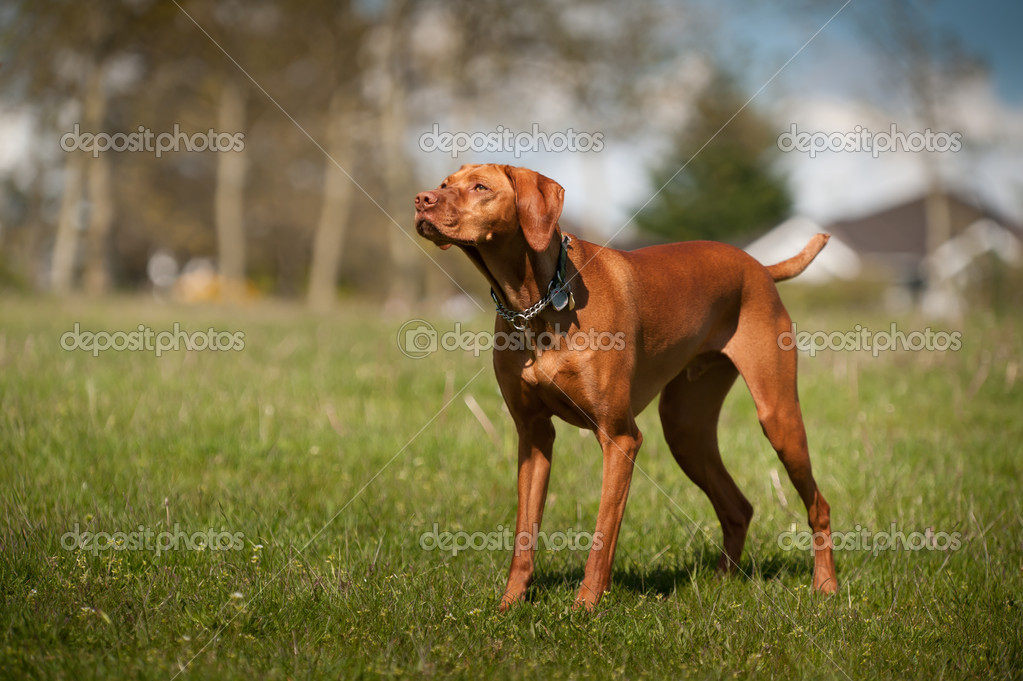 Vizsla stands at alert in a grass field in a park. — Stock Photo #7117444