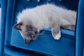 Cat with blue eyes lies on blue chair — Stock Photo
