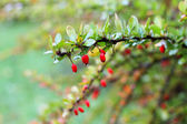 Autumn barberry — Stock Photo